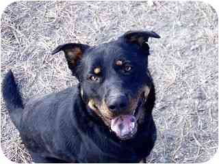 Rottweiler/Shepherd (Unknown Type) Mix Dog for adoption in Roundup, Montana - Ruby