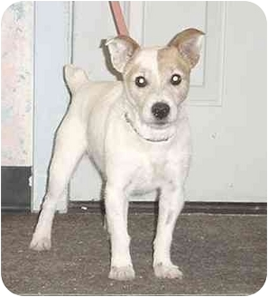 Jack Russell Terrier Dog for adoption in Austin, Minnesota - Shorty