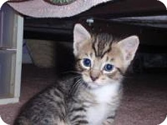 Domestic Shorthair Cat for adoption in East Brunswick, New Jersey - Tiger