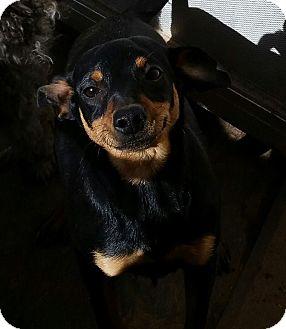 Miniature Pinscher/Dachshund Mix Dog for adoption in Snyder, Texas - Bear