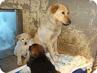 Labrador Retriever Mix Dog for adoption in Henderson, North Carolina - Winonna, Wendy & Walter
