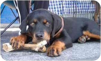 Rottweiler Puppy for adoption in West Los Angeles, California - Rocky