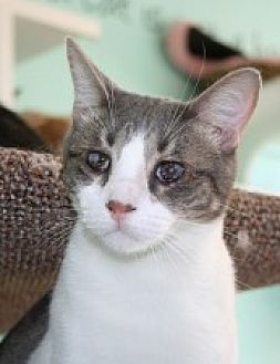 Domestic Shorthair Cat for adoption in Marietta, Georgia - Rick