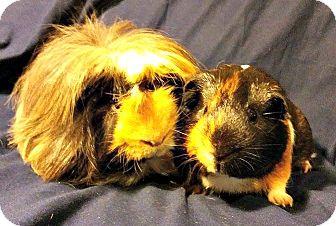 Guinea Pig for adoption in Orlando, Florida - Yogi and Rockey