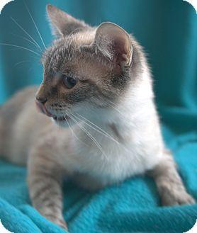 Siamese Cat for adoption in Harrisonburg, Virginia - Allison (SC)