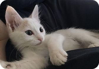 Domestic Shorthair Kitten for adoption in Los Angeles, California - Lily