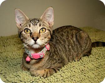 Domestic Shorthair Kitten for adoption in Bradenton, Florida - Basil
