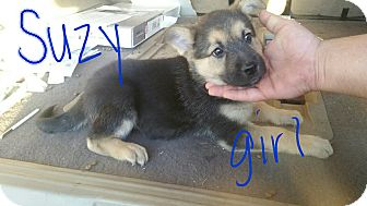 German Shepherd Dog/Rottweiler Mix Puppy for adoption in Victorville, California - Darcy's girls
