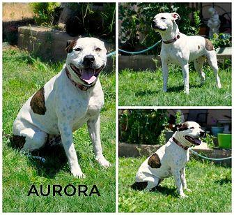 Pit Bull Terrier/Labrador Retriever Mix Dog for adoption in Sacramento, California - Aurora