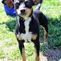 Adopt A Pet :: Izzy - Waldorf, MD
