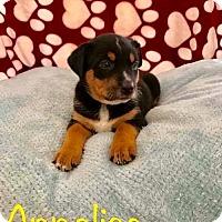 Adopt A Pet :: PP - Annalise - Tucson, AZ