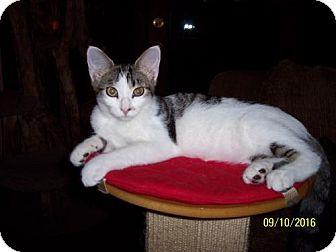Domestic Shorthair Cat for adoption in Verona, Wisconsin - Jewel & Johnny Winter (Bonded)