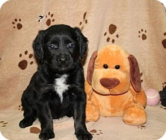 Black and Tan Coonhound Mix Puppy for adoption in Brattleboro, Vermont - Katrina