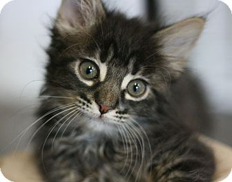 Domestic Mediumhair Kitten for adoption in Canoga Park, California - Chocolate Rose