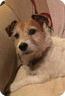 Terrier (Unknown Type, Medium)/Jack Russell Terrier Mix Dog for adoption in Wichita, Kansas - Chester