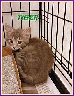 Domestic Shorthair Kitten for adoption in Berkeley Springs, West Virginia - Tiger
