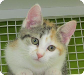Domestic Shorthair Kitten for adoption in Richmond, Virginia - Mia