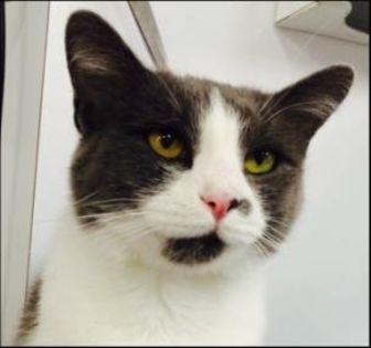 Domestic Shorthair/Domestic Shorthair Mix Cat for adoption in Greensboro, North Carolina - Selena
