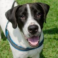 Adopt A Pet :: Cooper - Greenwood, SC