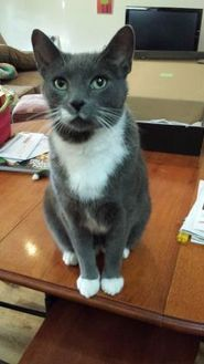 Domestic Shorthair/Domestic Shorthair Mix Cat for adoption in Chicago, Illinois - Oliver