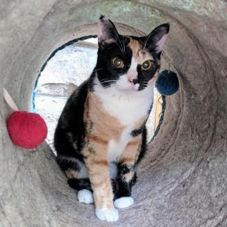 Domestic Shorthair/Domestic Shorthair Mix Cat for adoption in New Freedom, Pennsylvania - Holly