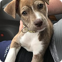 Hound (Unknown Type)/Boxer Mix Puppy for adoption in Rockville, Maryland - Babe Clarice