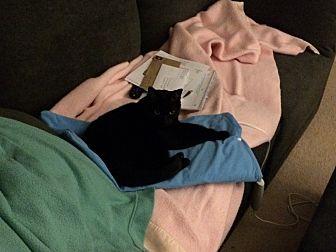 Domestic Mediumhair Cat for adoption in Charlotte, North Carolina - Mya