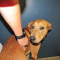 Adopt A Pet :: Sawyer - Henderson, NC