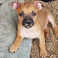 Adopt A Pet :: Maddy's Mack - Las Vegas, NV