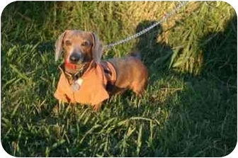 Dachshund Mix Dog for adoption in Muldrow, Oklahoma - SPARKY