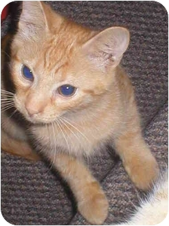 Domestic Shorthair Kitten for adoption in Cincinnati, Ohio - Thistle: $25