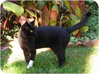 Domestic Shorthair Cat for adoption in Marina del Rey, California - Felix