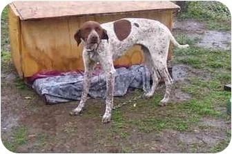 Pointer Dog for adoption in Osceola, Arkansas - Bones
