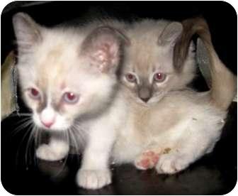 Ragdoll Kitten for adoption in Dallas, Texas - Pansy