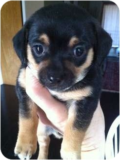 Chihuahua Mix Puppy for adoption in Bellingham, Washington - Oscar