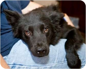 Spaniel (Unknown Type)/Flat-Coated Retriever Mix Dog for adoption in Richmond, Virginia - Skip*Foster me!