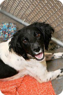 English Setter Mix Dog for adoption in Kalamazoo, Michigan - Brenna
