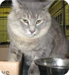 Domestic Longhair Cat for adoption in Stillwater, Oklahoma - Lily