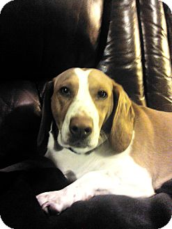Beagle/Basset Hound Mix Dog for adoption in Newburgh, Indiana - Brandi & Angel