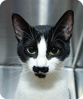 Domestic Shorthair Cat for adoption in New York, New York - Martha