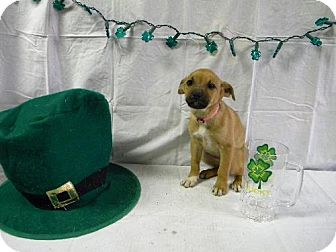 Boxer Mix Puppy for adoption in River Falls, Wisconsin - Amanda