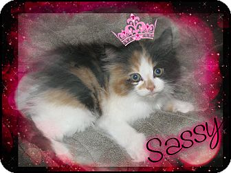 Domestic Longhair Kitten for adoption in Plainfield, Connecticut - Sassy