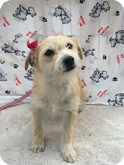 Parson Russell Terrier/Terrier (Unknown Type, Small) Mix Dog for adoption in Corona, California - Miley