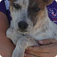 Adopt A Pet :: Pippin - Conway, AR