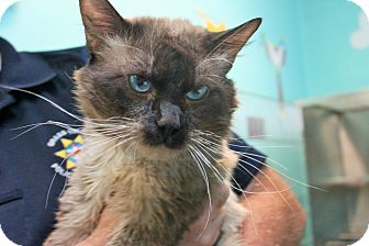 Siamese Cat for adoption in Grass Valley, California - Leif