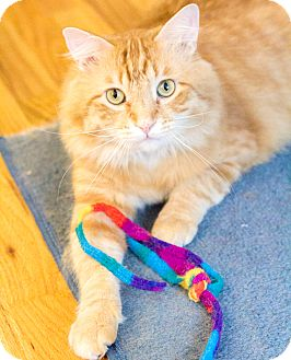 Maine Coon Cat for adoption in Chicago, Illinois - Bubba