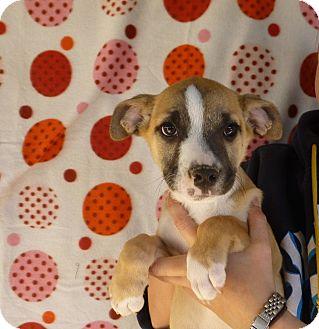 Australian Shepherd/Labrador Retriever Mix Puppy for adoption in Oviedo, Florida - Peppi