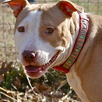 Pit Bull Terrier/Terrier (Unknown Type, Medium) Mix Dog for adoption in Mebane, North Carolina - Sarah