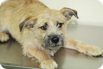 Border Terrier Mix Dog for adoption in Allentown, Pennsylvania - Westgate