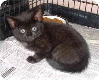 Domestic Shorthair Kitten for adoption in Honesdale, Pennsylvania - Kani